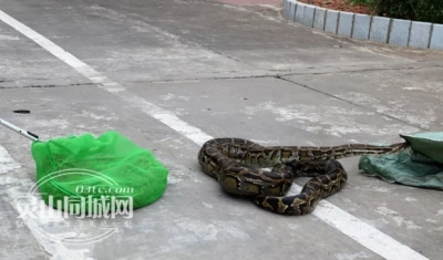 脚软!两巨蟒蛇惊现广场,吓坏众人