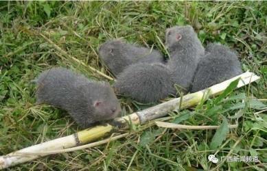竹鼠还能养能吃吗?林业局发布紧急通知:全面清理排查