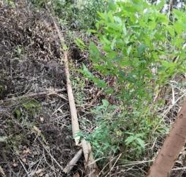 台风过后一两年的桉树是这样的