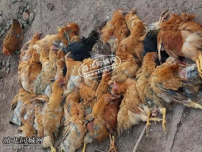 可怕!钦州一养鸡场暗遭投毒大量鸡死亡.....